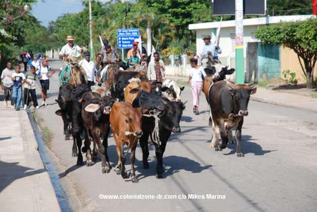 bulls in the street at festival of the bulls in bayaguana, dominican republic
