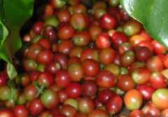 ripe cherry coffee beans getting ready to be dried