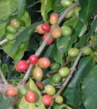 coffee beans in different stages of development