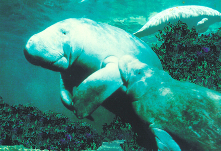 A Manatee mother milks her young calf in the waters of Republíca Dominicana