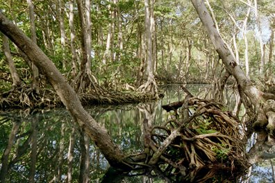 picture/image mangroves