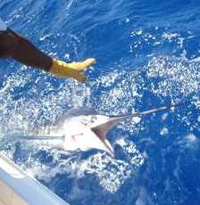 release of white marlin