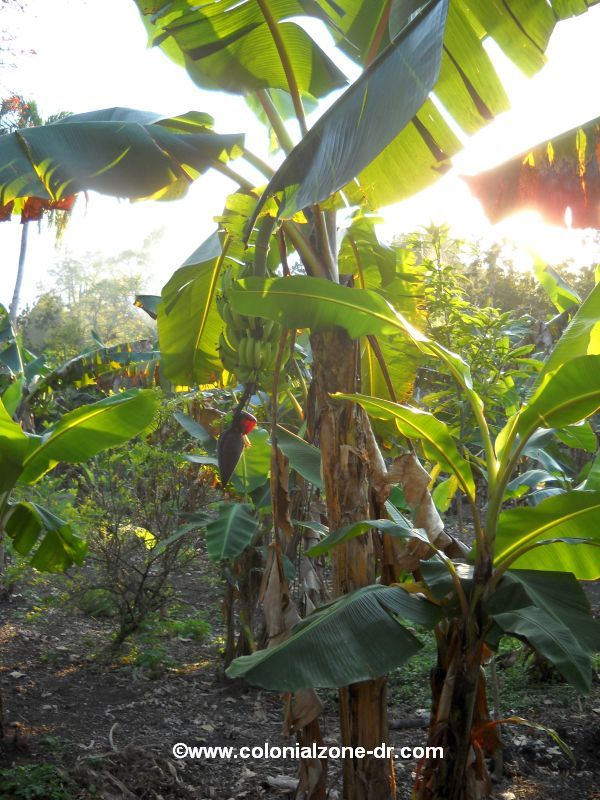 platanos growing on tree