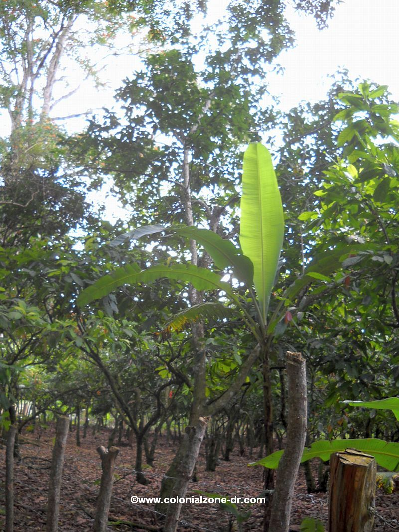 Avocado trees in Salcedo, Republica Dominicana
