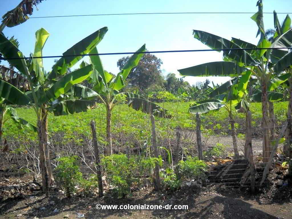 Yuca plants growing in the field almost ready for harvest