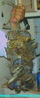 string of crabs - cangrejo
