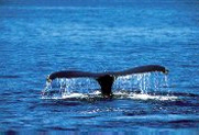 picture/image whales tail
