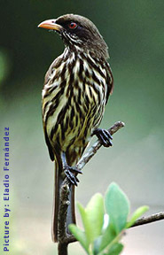 National Bird of the Dominican Republic - Palm Chat / Ave Nacional - Cigua Palmera