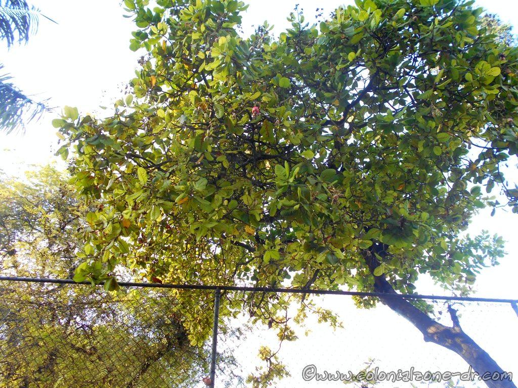 Árbol Anacardo, Cajuil Tree, Cashew Tree.