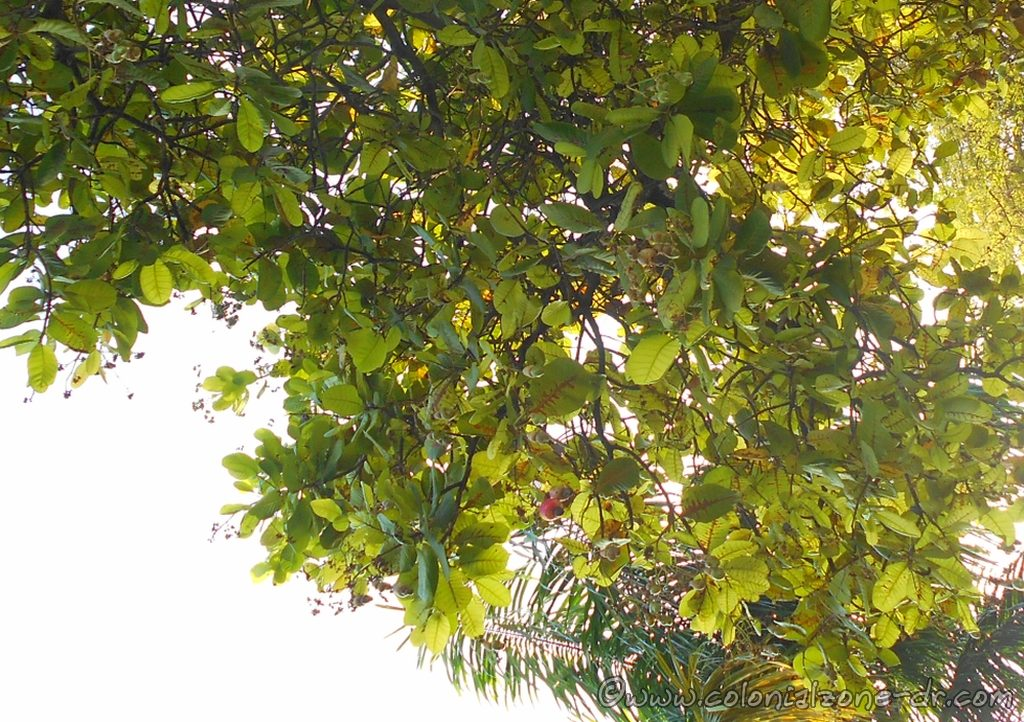 Árbol de Anacardo, the tree that produces cajuil, the cashew seed and the manzana de auga