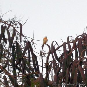 A small falcon - American Kestrel also known as a Cuyaya or Ser Nicolá