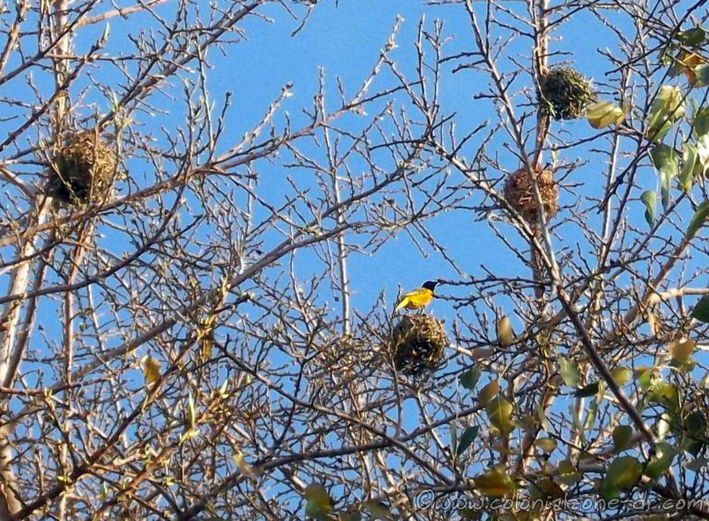 The yellow and blackish brown Village Weaver sitting atop the round nest he built in the trees of Parque Colon in the Colonial Zone.