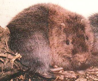 The cute little endangered Hispaniolan Hutia (Capromyidae)