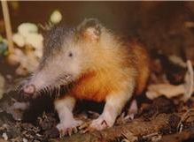 Solenodon found in Dominican Republic