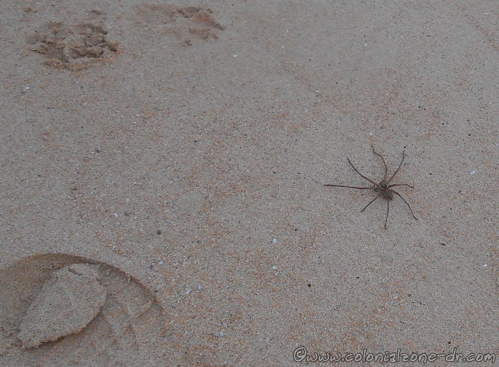 A Huntsman Spider enjoying the beach at Las Terrenas, Dominican Republic