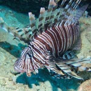 The invasive Lion Fish