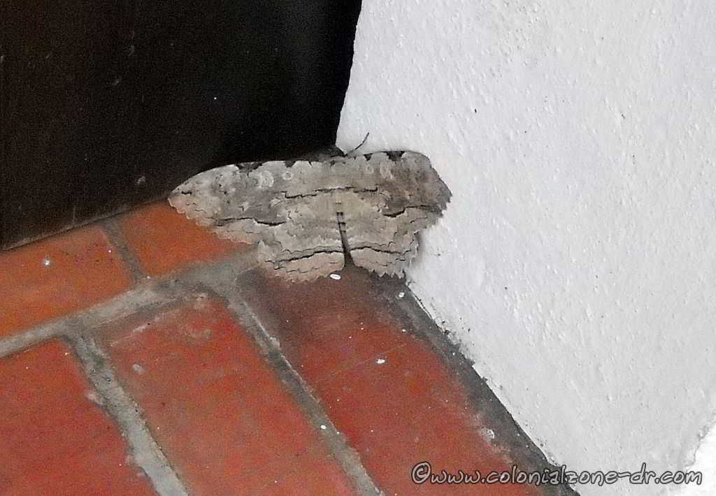 The Black Witch Moth close up in a dorway in Zona Colonial, Dominican Republic