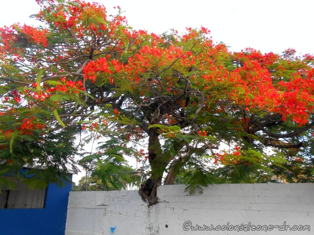 A beautiful Flamboyant Tree with it's bright red flowers.