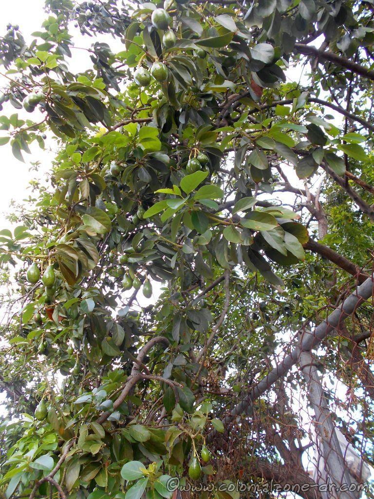 Avocado trees in Salcedo, Republica Dominicana