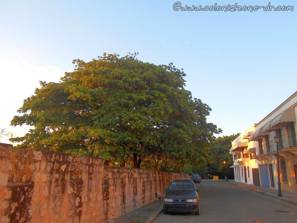 A large Almendra tree growing on Calle las Damas in Ciudad Colonial, Santo Domingo