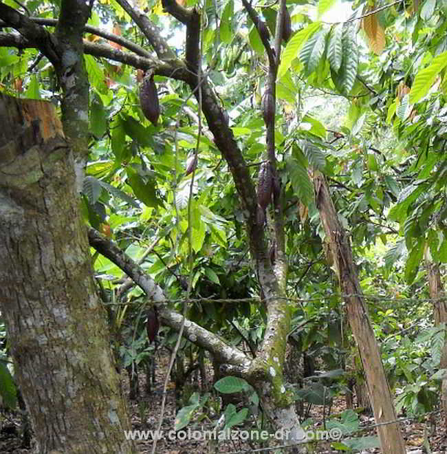A cacao tree