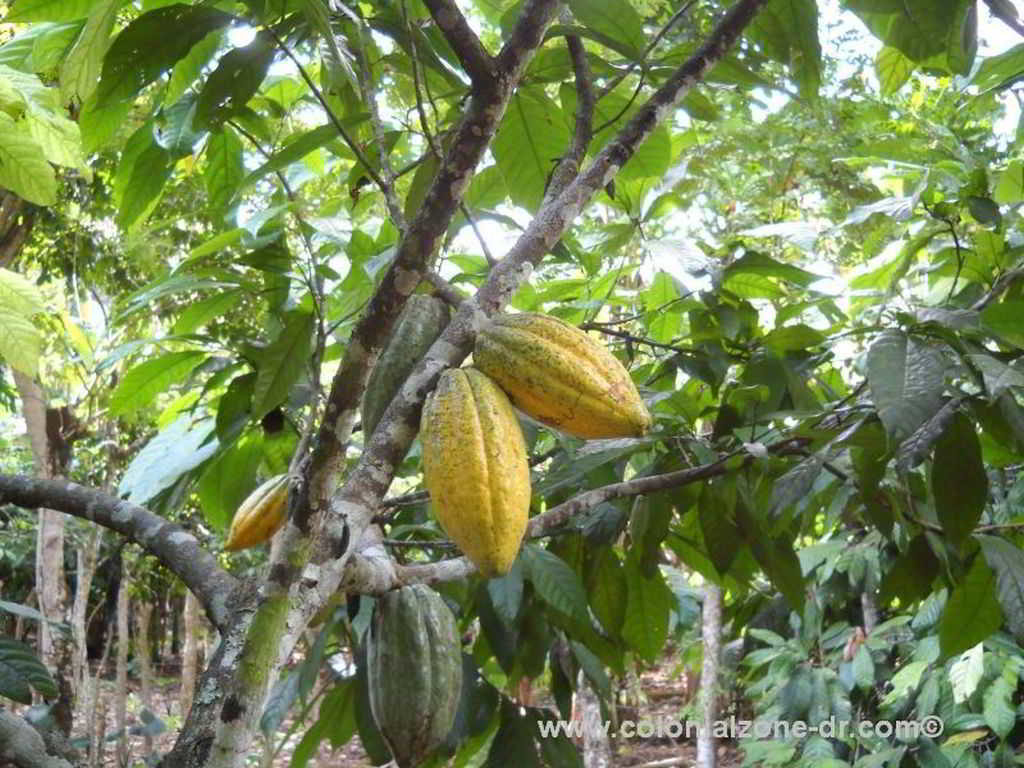 Green and ripe yellow cacao pods on a tree in Salcedo, Dominican Republic.