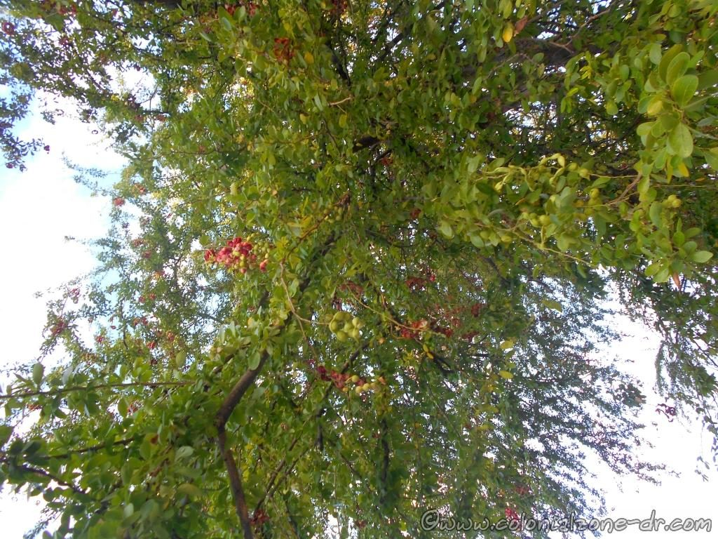 The Jina (Inga fagifolia) Tree produces curling seed pods that hold sweet fruit.