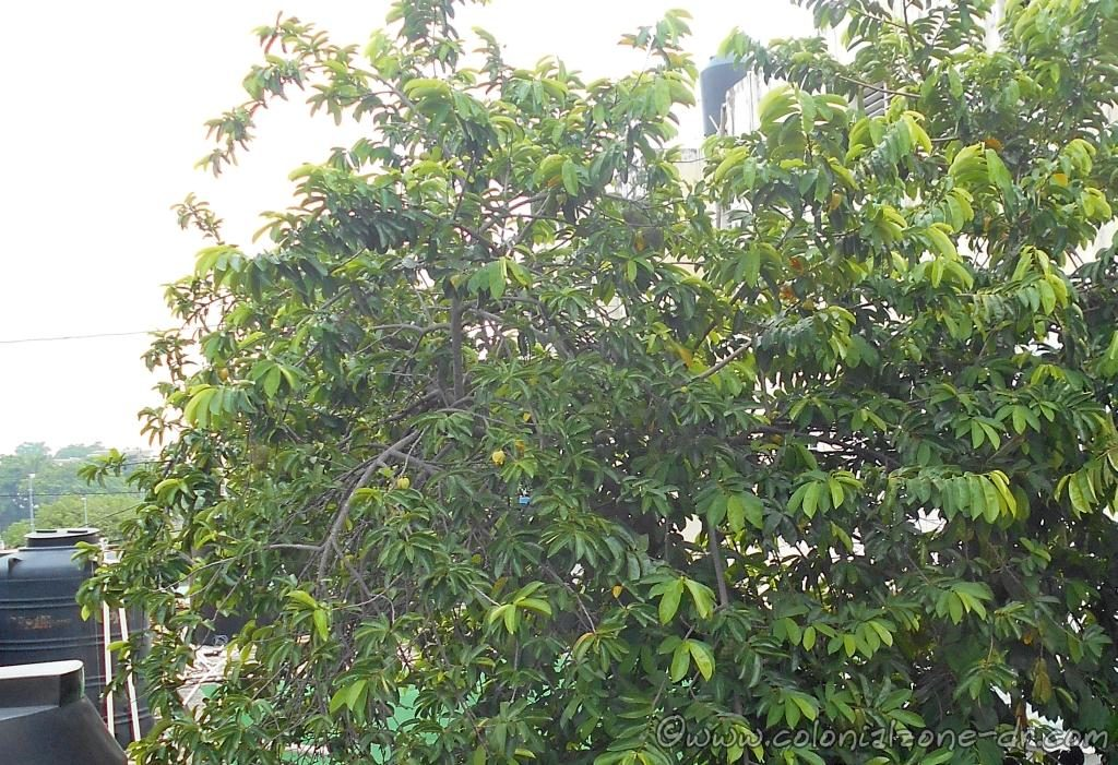 Guanabana fruit grows on the flowering broadleaf evergreen tree Annona Muricata