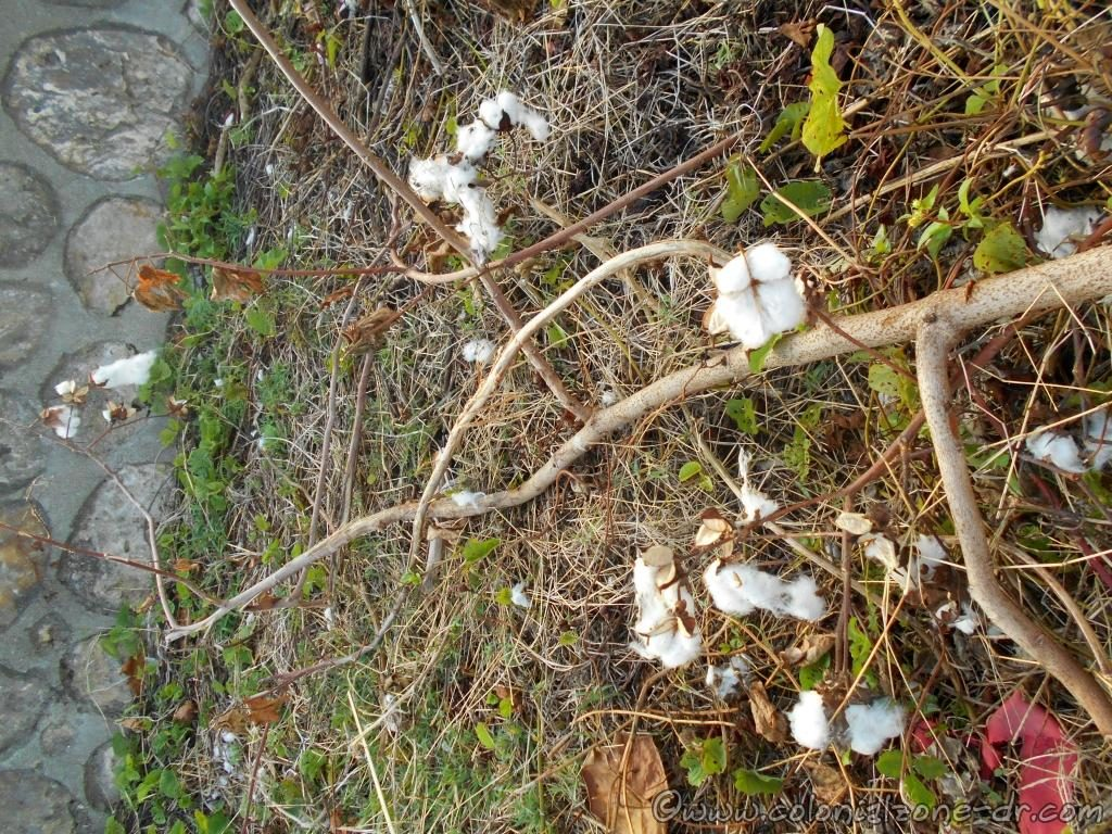 Wild cotton growing in Dominican Republic, the favorite food of the Red Bug , St. Andrews Cotton Stainers.