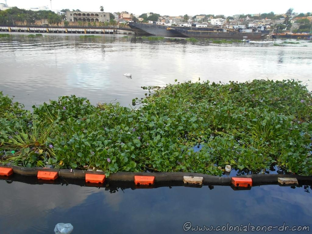 Jacinto de Auga / Water Hyacinth floating on Rio Ozama at the Puente Flotante, Colonial Zone, Dominican Republic