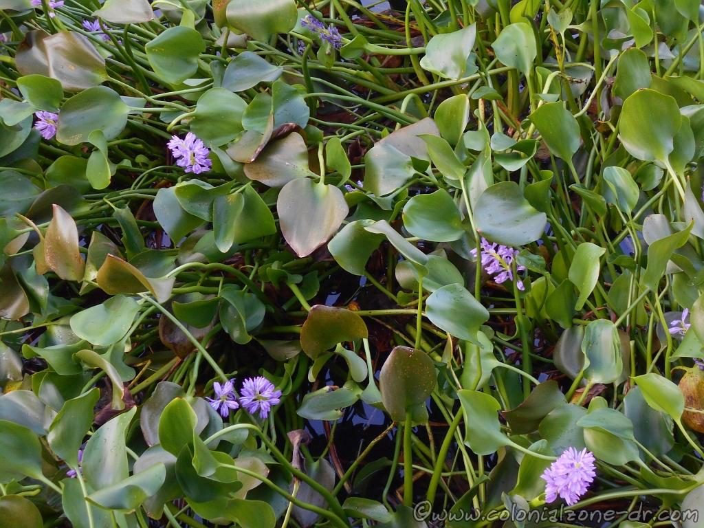 The pretty flower of the Jacinto de Auga / Water Hyacinth