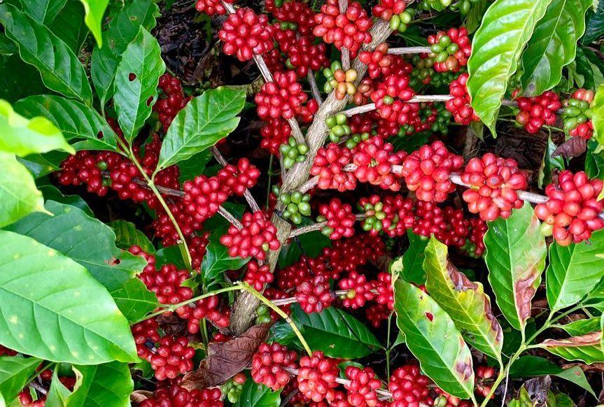 Coffee cherries growing on plants in Dominican Republic.