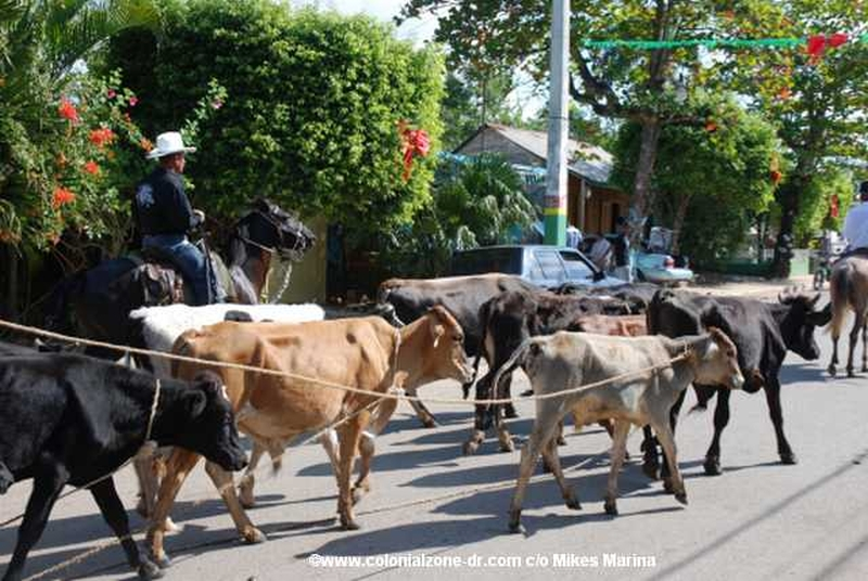 The Festival El Santo Cristo de Bayaguana - The bulls are coming into town.