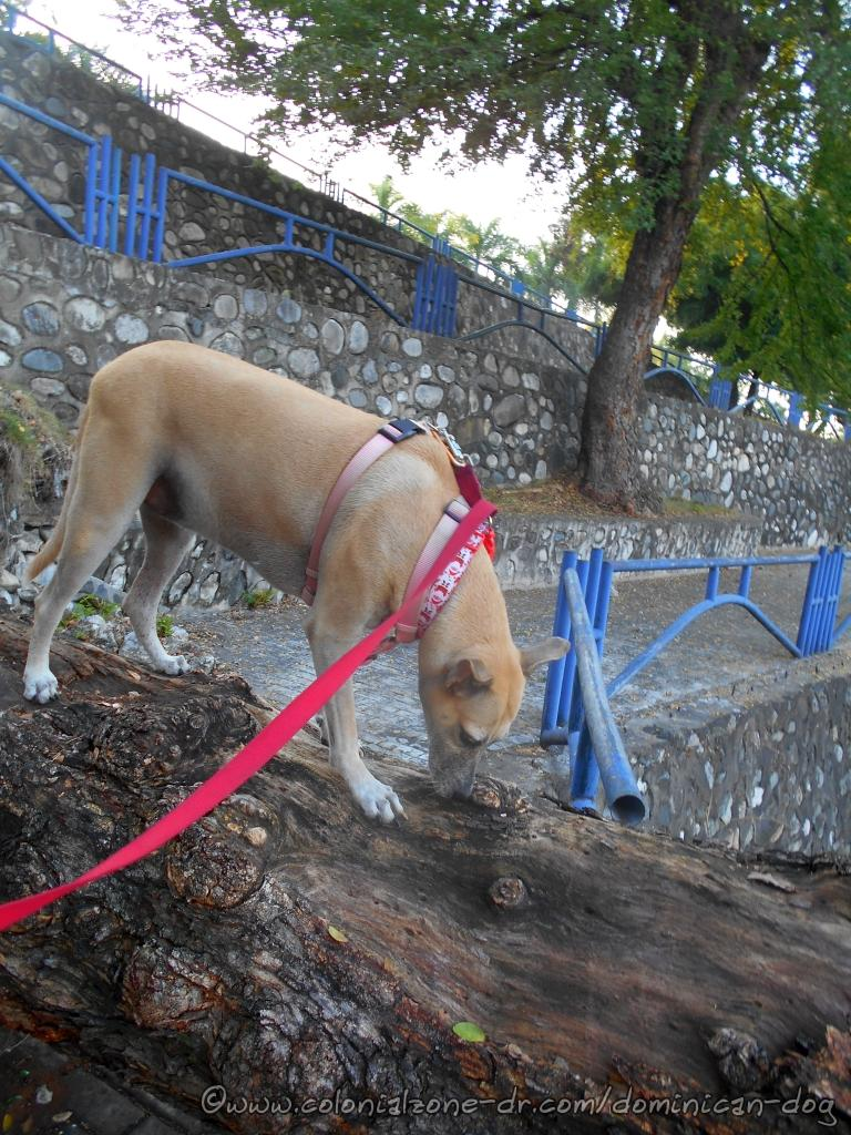 Plaza Monumente de la Caña Annex walkways with Inteliperra sniffing the fallen tree blocking one of the paths.